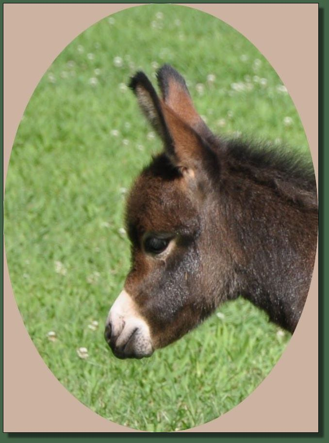 Miniature donkey for sale.