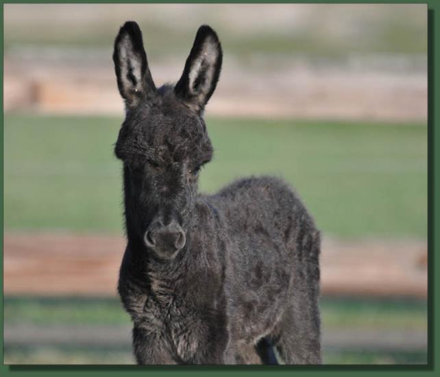 Cedar Creek Shady Lady, miniature donkey jennet for sale
